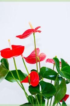 Anthurium romance rode bladeren