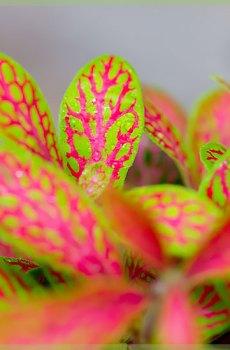 Fittonia albivensis neon pink - mozaïekplant