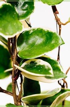Hoya albomarginata hangplant pot 10cm