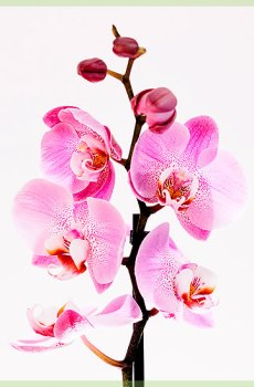 Phalaenopsis pink lady pot 12cm