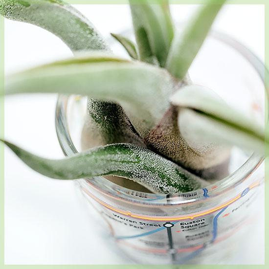 Airplant luchtplant tillandsia caput medusae incl london minibeker