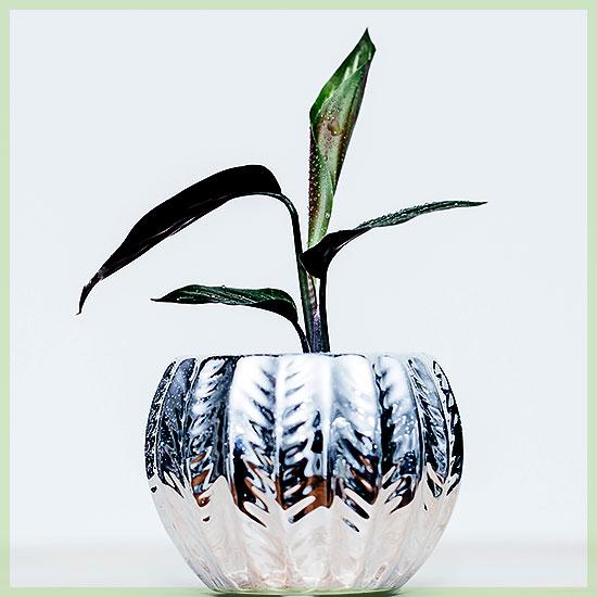 Calathea kamerplanten plantjes stekjes kopen