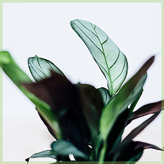 Calathea stekjes mini plantjes