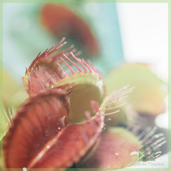 Dionaea muscipula vleesetende plant kopen