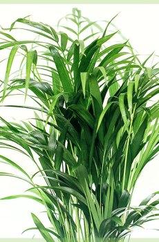Areca palm goudpalm rietpalm vlinderpalm bergpalm