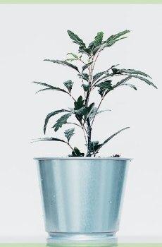 Schefflera of Dyzigotheca Elegantissima mini plantje
