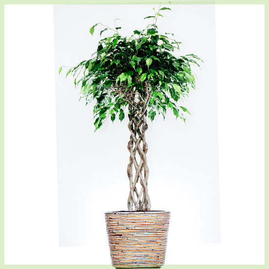 Ficus Benjamina Exotica 140cm