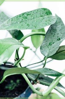 Hoya carnosa beauty star hangplant