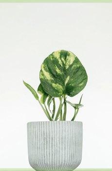 Epipremnum Pinnatum Aureum kopen en verzorgen