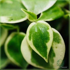 Peperomia Scandens Variegata kopen en verzorgen