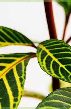 Sanchezia nobilis kopen