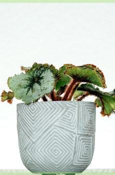 Bladbegonia rex Escargot mini plant kopen
