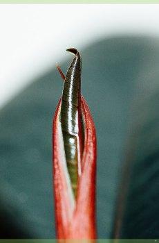 ficus elastica abidjan miniplant kopen