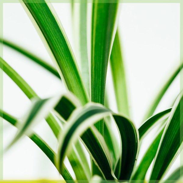graslelie chlorophytum comosum mini plant