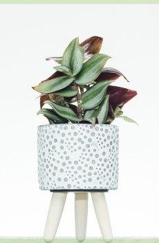 tradescantia zebrina pink joy mini kopen