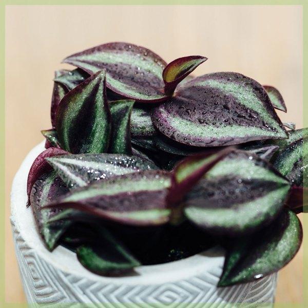 tradescantia purple passion mini plant kopen