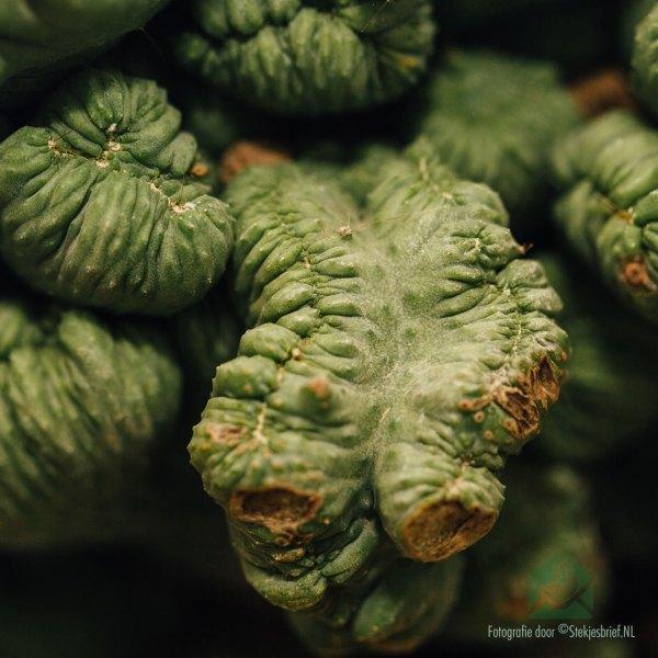 """Cereus peruvianus """"Grizzly"""" (Cactus) kopen"""