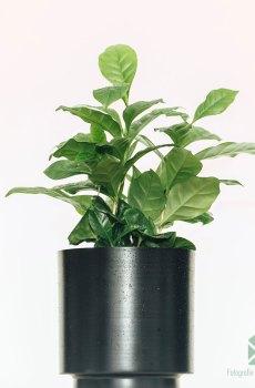 Coffea Arabica kopen en verzorgen
