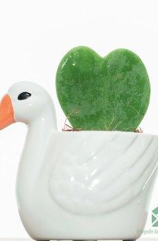 Hoya Kerrii Hartjesplant kopen
