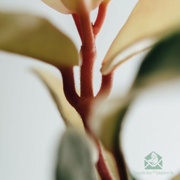 hoya carnosa albomarginata 3 color kopen