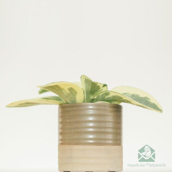Peperomia Obtusifolia USA kopen