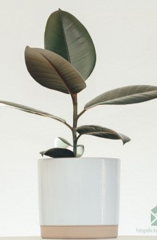Rubberboom Ficus el. 'Abidjan' kopen