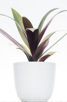 Tradescantia spathacea purple passion kopen en verzorgen