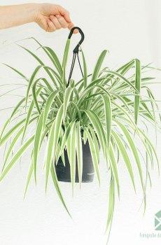 Graslelie chlorophytum comosum grote hangplant