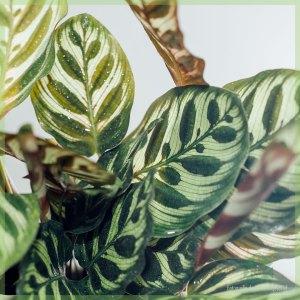 Calathea Makoyana pot 11 kopen en verzorgen