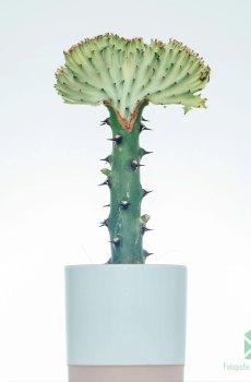 Euphorbia Lactea (Rode kraag) kopen en verzorgen