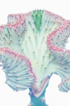 Euphorbia Lactea Roze kraag kopen en verzorgen