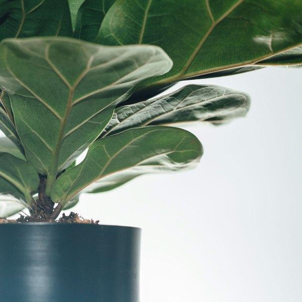 Ficus Lyrata Compacta (Vioolbladplant) kopen