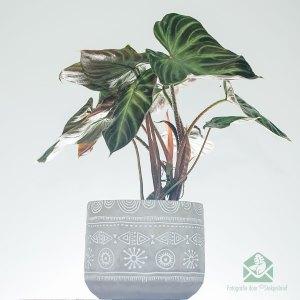 Philodendron verrucosum pot 15 cm