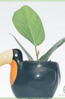Ficus benghalensis Audrey kopen en verzorgen