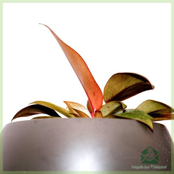 Philodendron Black Cardinal online kopen en verzorgen