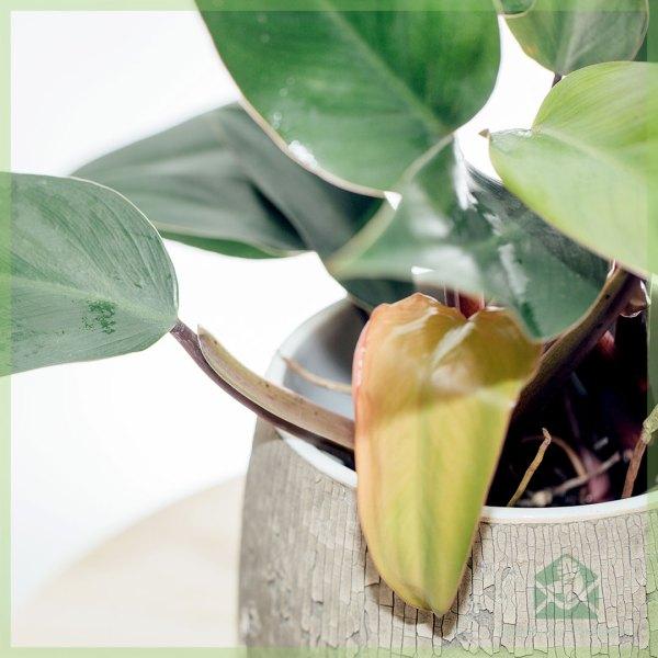 Philodendron Ruby kopen en verzorgen
