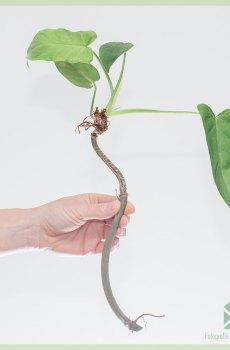 Philodendron Golden Dragen ongeworteld stekje kopen