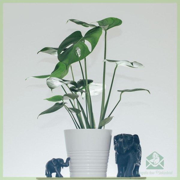 Philodendron Monstera Deliciosa Gatenplant kopen pot 14 cm