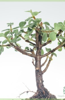 Bonsai Portulacaria Afra (Jade) kopen