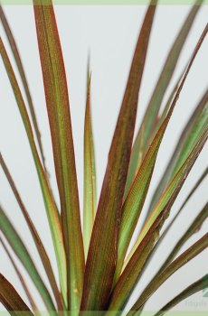 Dracaena Reflexa Drakenboom kopen en verzorgen