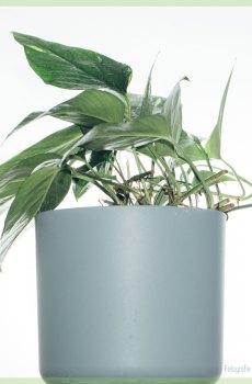 Epipremnum aureum variegata kopen en verzorgen