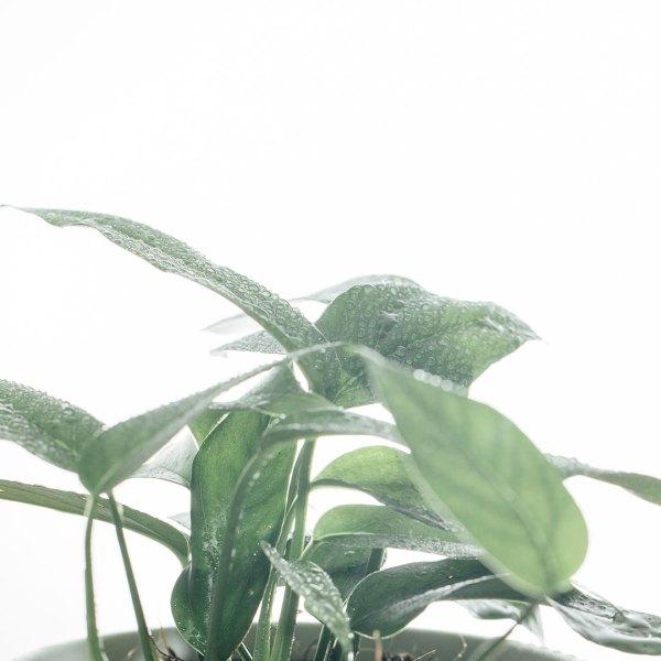 Epipremnum pinnatum hang Blue Form kopen