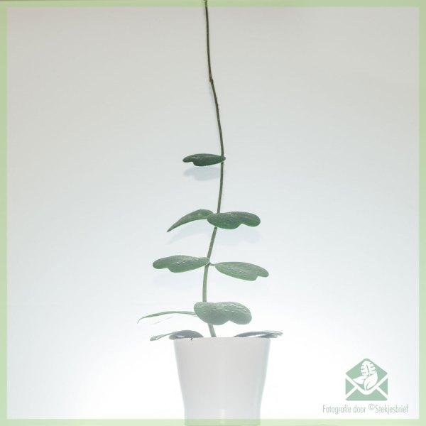 Hoya Kerrii Hartjes klimplant kopen en verzorgen