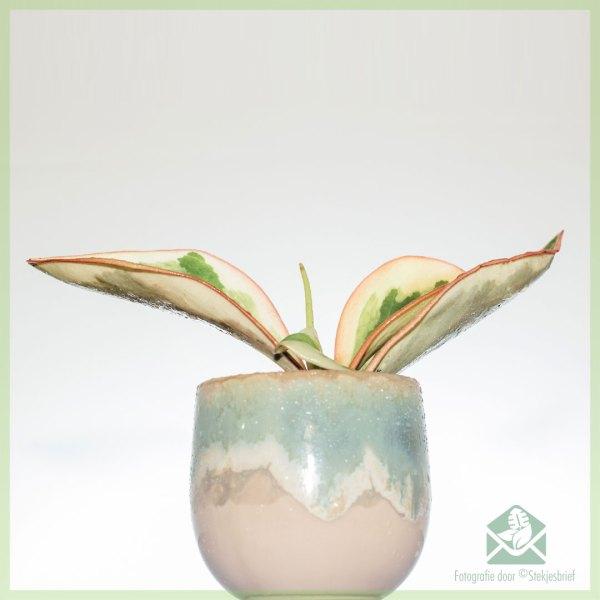 Peperomia Clusiifolia Jelly kopen