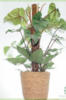 Philodendron Red Emerald (mosstok) kopen