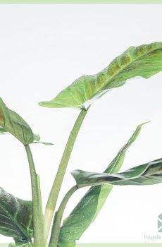 Philodendron Subhastatum kopen verzorgen