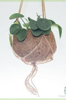Pilea Peperomioides (Pannenkoekenplant) hangplant