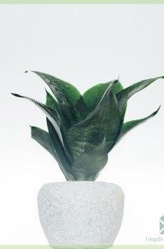 Sansevieria Black Dragon 'mini' - vrouwentong kopen