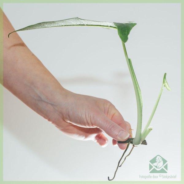 Syngonium podophyllum 'Trileaf Wonder'