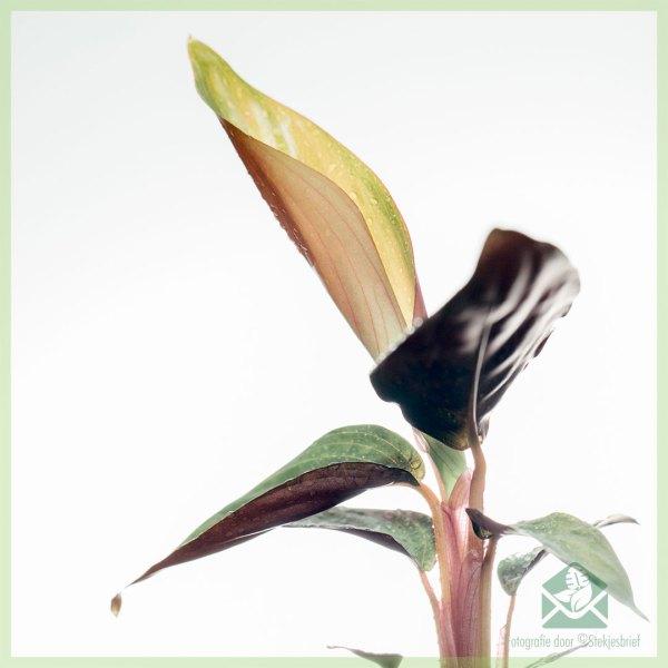 Stromanthe Sanguinea - Calathea triostar stekjes kopen